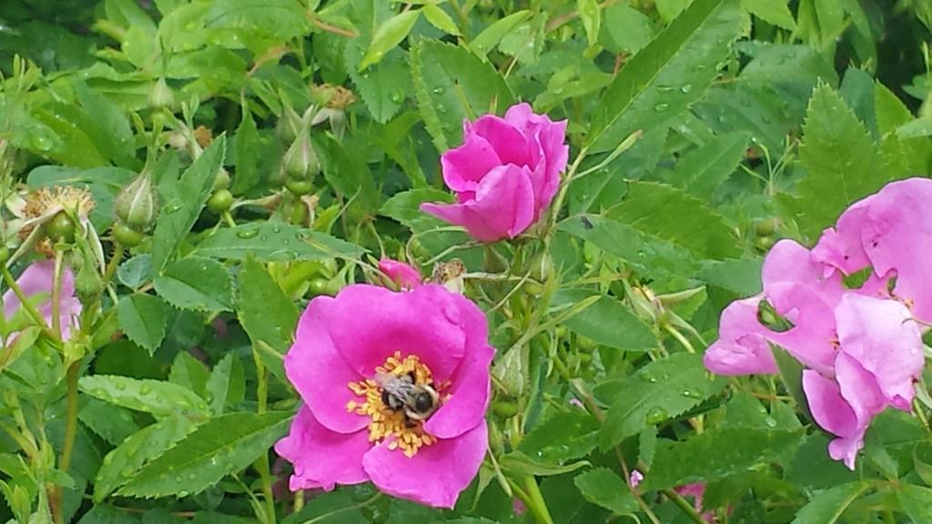 Briar Rose Bush