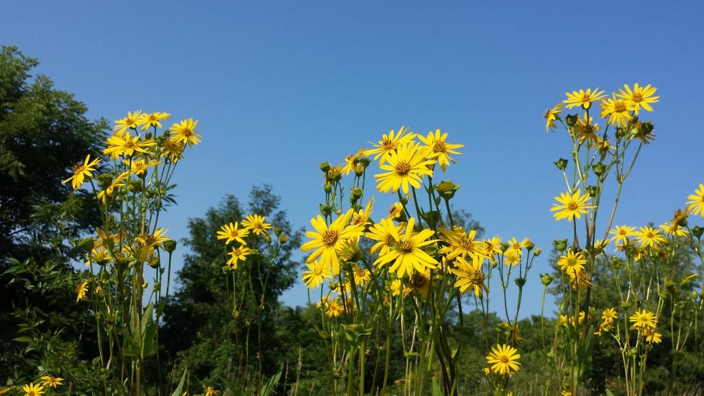 Jerusalem Artichoke Flowers in Ontario