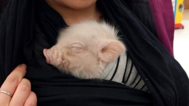 Mini Pig Pet