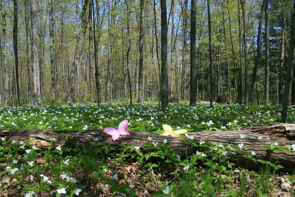 Butterflies among White Trilliums